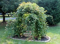 Great way to control a wild Blackberry bush. Create a circle and cut back any bramble that goes out of bounds