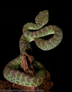 Cryptelytrops venustus - Beautiful pitviper by Michael Kern, via 500px