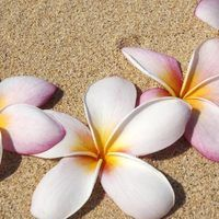 You can almost smell the coconut trees, sparkling ocean and Hawaiian breezes when you make these adorable plumeria foam flowers. Traditional Hawaiian leis created from plumerias are one of this exotic flower's most recognizable craft projects, but these blooms are adaptable for a number of other tropical crafts. Easy-to-create plumeria foam...