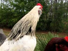 These are our chickens, the barred rock is King Henry I, at the top of the pecking order. The white Americauna is Leo, second in command. They were both crow. Pecking Order, Roosters, Crow, Blessings, Blessed, Peace, Youtube, Raven, Rooster