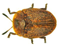 Family: Chrysomelidae Size: 4.5 to 6.0 mm Distribution: South-Central Europe Ecology: on Convolvulus species Location: Germany, Bavaria, Upper Franconia, Kulmbach leg.det. U.Schmidt, 3.XI.1977 Photo: U.Schmidt, 2011