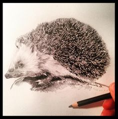 Hedgehog pencil drawing from Bright Chiara.