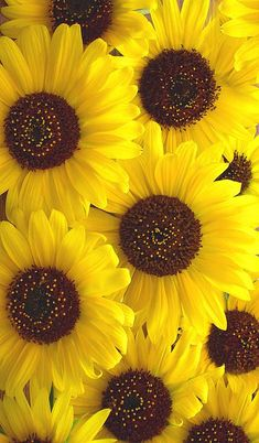 42 Ideas wallpaper flores girassol for 2019 Sunflower Iphone Wallpaper, Flower Phone Wallpaper, Iphone Background Wallpaper, Tumblr Wallpaper, Nature Wallpaper, Brick Wallpaper, Screen Wallpaper, Sunflowers And Daisies, Yellow Flowers
