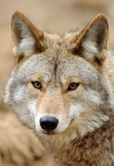 portrait of a coyote! Wish I could have them as pets. Animals Beautiful, Cute Animals, Wild Animals, Cute Cats Photos, Wild Dogs, Photo Reference, Habitats, Lady In Red, Animal Pictures