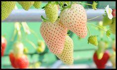 Héritage blanc âme fraise saveur ananas Fragaria par CheapSeeds