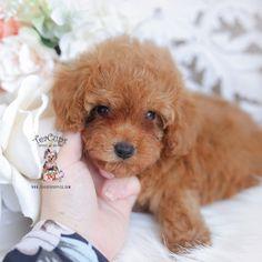 Micro Teacup Poodle, Teacup Poodle Puppies, Poodle Puppies For Sale, Cute Animals Puppies, Teacup Puppies For Sale, Tea Cup Poodle, Toy Puppies, Pomeranian Puppy, Yorkie