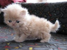persian cat- this is what I want for Christmas!!!