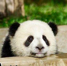 Giant Panda Qing Da Un calinou ? Panda Kawaii, Cute Panda, Baby Animals, Funny Animals, Cute Animals, Wild Animals, Baby Panda Bears, Panda Wallpapers, We Bear