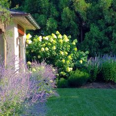 limelight hydrangeas, Russian sage and agastache