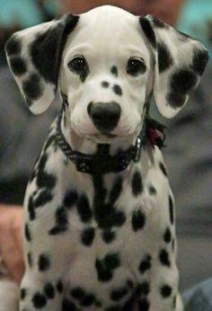 Beautiful Dalmatian Puppy