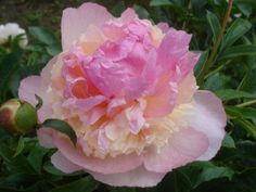 Raspberry Sundae peony. Plant peony roots in the fall for spring flowers.
