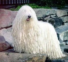 Komondor Dog - The Komondor is a large, white-colored Hungarian breed of livestock guardian dog with a long, corded coat