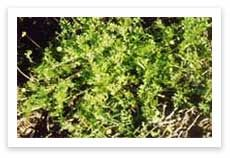 Turf Care and Maintenance - Bindii Weed - http://www.buffaloturf.com.au.
