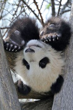Upside down panda...