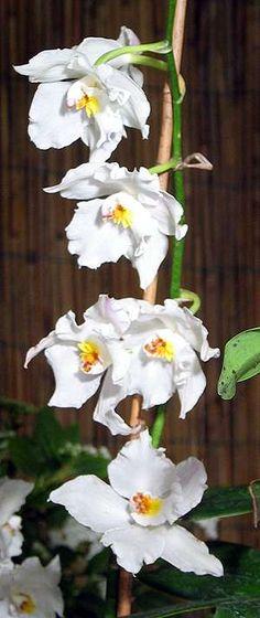 Odontoglossum nobile Rchb.f.