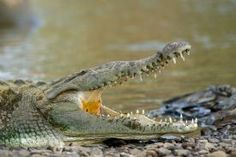 American Crocodile cooling off with its open mouth in Palo Verde National Park