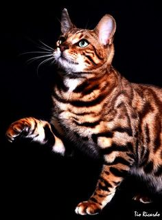 I have two Bengal Boys  one silver spotted, one orange and black... Amazing cat breed.