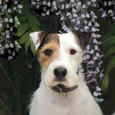 Scout - Jack Russell Terrier rescue
