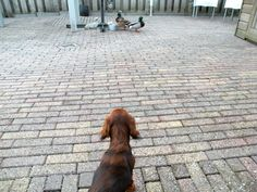 Stella likes the ducks... no chasing or barking. Sides, they're bigger than she is!