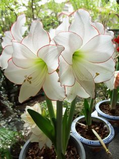 Picotee Amaryllis - Amaryllis/Hippeastrum Forum - GardenWeb **Winter Blessings**❊ ~ ❤✿❤ ♫ ♥ X ღɱɧღ ❤ ~ Wed 31st Dec 20142014