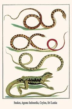 Snakes, Agama Indonedia, Ceylon, Sri Lanka
