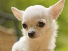 Chihuahua #dogsfunnychihuahu #chihuahua #dogsfunnychihuahua