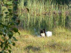 Nelijalkaisen työkaverin, perhoskoira Uldan kanssa etsimässä sieniä lankojen värjäilyä varten. #jussakka #perhoskoira #papillon #syksy #dog