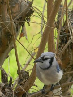 how to tell males from female blue jays