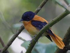 Black-and-orange Flycatcher(Ficedula nigrorufa)  India