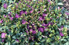 RHS Plant Selector Vinca minor Atropurpurea AGM / RHS Gardening - shade plant