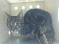 RESPECT - A1048836 - - Staten Island **TO BE DESTROYED 08/28/15** RESPECT is a NEUTERED 14-week-old kitten who was brought into the ACC in a trap, and who was utterly traumatized by that circumstance. He comes by his New Hope rating honestly because he is scared out of his mind. Can you blame him? He is just learning about the world and nothing has prepared him to be caught in a cage, brought to the ACC, and put his best foot forward. Heck, even cats who are much older and