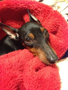 toy manchester terrier / english toy terrier
