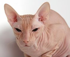 Donskoy:   This different cat breed is truly different in looks! The Donskoy is an elegant, active, social and people-orientated cat. This hairless cat gets along well with other pets and should never be without a companion - be it human or another pet.