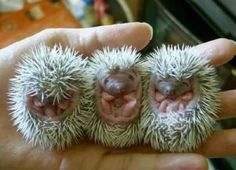 Baby hedgehogs. How cute are they?!