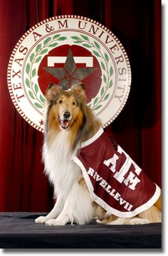 "Texas A & M Mascot - Reveille - the first lady of Aggieland. Reveille is the most revered dog on campus. Company E-2 has the privilege of taking care of Reveille. If she is sleeping on a cadet's bed, that cadet must sleep on the floor. Cadets address Reveille as ""Miss Rev, ma'am."" If she is in class and barks while the professor is teaching, the class is to be immediately dismissed."