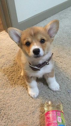 Acquire great recommendations on corgi. They are readily available for you on our website. Cute Corgi Puppy, Cute Dogs And Puppies, Corgi Dog, Little Puppies, I Love Dogs, Puppy Love, Pet Dogs, Dog Cat, Baby Corgi