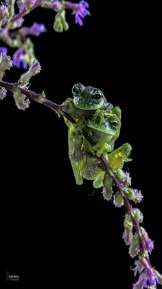 Nature - Amphibians - Spotted Glass Frogs in Costa Rica, Central America. -by Christian Sanchez Photography