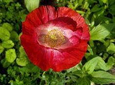 #мак #квіти #мійсад #макро #фотонателефон #flowers #flower #flowerslovers #instaflowers #nature #beautiful #plants #spring #photooftheday #nofilters #may #forget #nature #blossom #green #poppy #red#instaspring #beautifulday #springtime #mygarden #ilovespring #colorful #macro #lenovo http://gelinshop.com/ipost/1524594030372926870/?code=BUocjFnDzWW