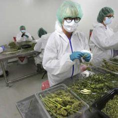 Buy OG-kush in Bulk - King Flavours Cannabis Vape, Cannabis Plant, Marijuana Plants, Medical Marijuana, Cannabis News, Growing Marijuana Indoor, Cannabis Growing, Cannabis Seeds For Sale, Plants