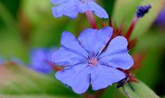 Singing the blues: the inky flowers of Ceratostigma willmottianum. Photograph: Alamy