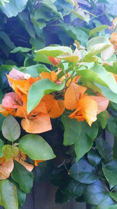Saffron Bougainvillea