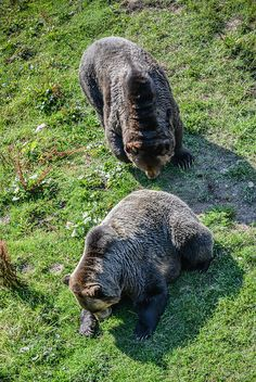 Grizzly Bears at Grouse Mountain - North Vancouver BC Canada viewed from Ski Chair #Animals