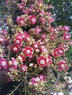 Abricó de macaco Esta árvore é originária da região amazônica, sendo que seu nome científico (Couroupita guianensis) refere-se ao local onde foi estudada pela primeira vez, a Guiana Francesa. Couroupita deriva de kouroupitoumou, o nome popular pelo qual é conhecida na Guiana Francesa. Também pode ser encontrada em zonas exteriores à floresta amazônica, como na Costa Rica, Panamá, Colômbia e Venezuela. Seu habitat natural são terrenos inundáveis e margens de igapós e rios.