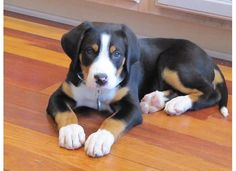 greater swiss mountain dog - I love my Pitt, but this could so totally find a place in my heart, too!