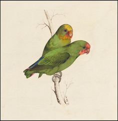 Two small green birds hand - colored lithograph by peacay, Edward Lear Antique Illustration, Nature Illustration, Botanical Illustration, Animal Illustrations, Vintage Illustrations, Nature Prints, Bird Prints, All Animals Photos, John James Audubon