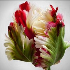 @mag.gieshep.herd  A tulip from the cover of the book by Carolyne Rohem 'Flowers' #carolyneroehm #flowers #designer #style #lux #stylish #garden #botanical #botany #tulip #eco #botanical #stilllife #study #specimen #exotic #wildflowers #ecology #vase #decor #beautiful #interiors #petals #elegant #colourful #light