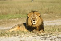 While many North American airliners — including Delta, United, American Airlines and Air Canada — have announced they are banning the shipment of big-game trophies, shipping giant UPS said it would continue the practice.