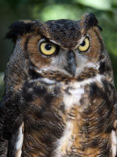 }{     Great Horned Owl