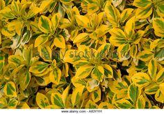 The golden yellow leaves of the shrub Elaeagnus x ebbingei 'Gilt Edge' - Stock Image Nitrogen Fixing Plants, Yellow Leaves, Golden Yellow, Shrubs, Cool Designs, Stock Photos, Garden, Image, Garten