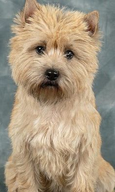 Cairn Terrier, Looks like my dog Riley Terrier Dog Breeds, Cairn Terriers, Beautiful Dogs, Animals Beautiful, Cute Animals, Cairns, Dog Breed Selector, Norwich Terrier, Lhasa Apso